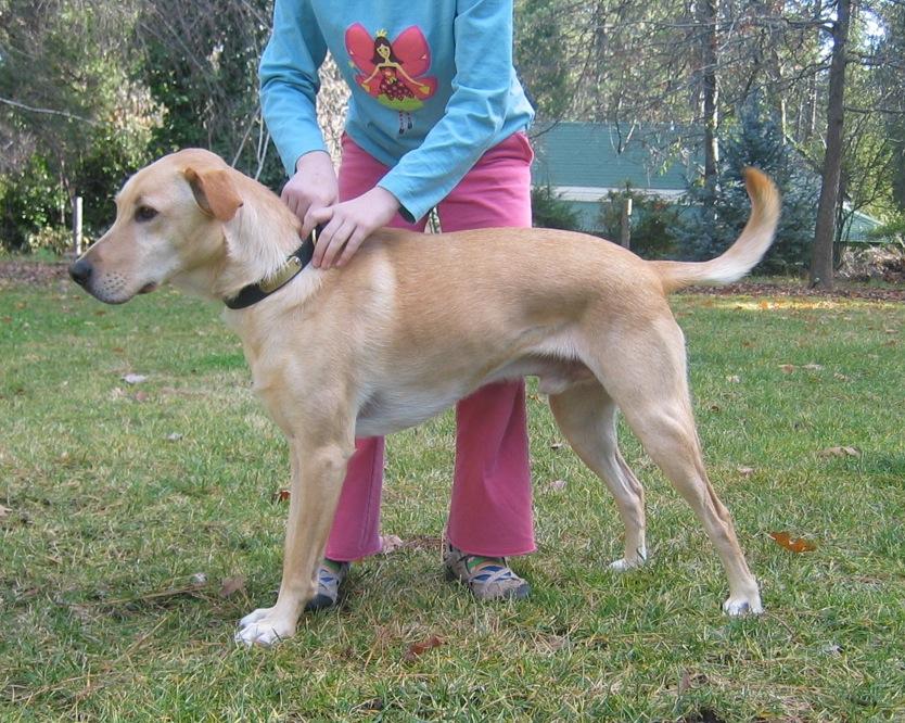 cane corso x greyhound or pressa x greyhound - Lurcher ...